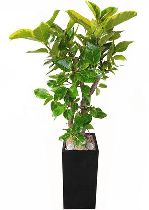뱅갈고무-사각 실내인테리어식물