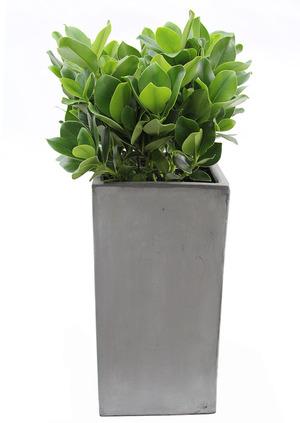 실내관엽식물 크루시아VIP