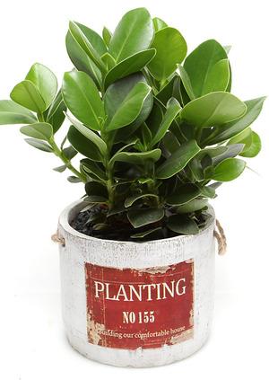 크루시아 실내공기정화식물