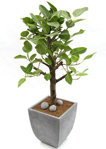 뱅갈고무나무-사각분-개업화분