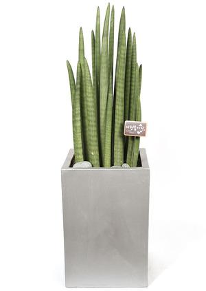 스투키- 실내공기정화식물