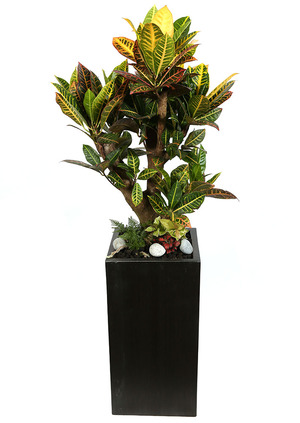 잎크로톤가지목+물받침