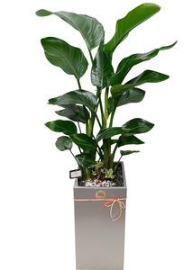실내관엽식물 극락조