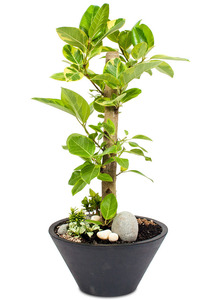 뱅갈고무 실내공기정화식물