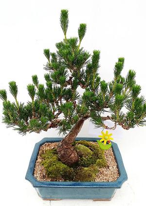 개업화분 소나무 분재-7