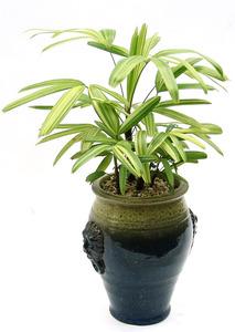 서황금 실내공기정화식물