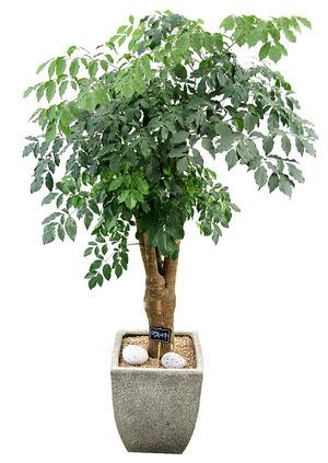 해피트리-실내관엽식물