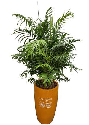 테이블야자 실내공기정화식물