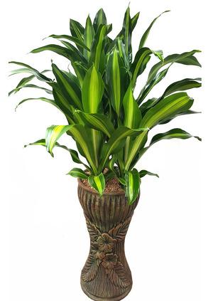 드라세나맛상-공기정화식물