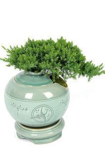 청자도자기화분-좀향나무