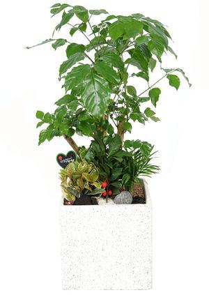 녹보수-공기정화식물