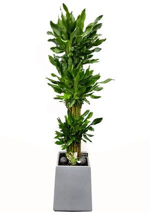 황금죽VIP-사각 실내식물