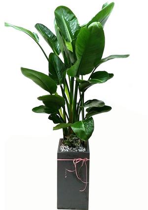 실내공기정화식물 극락조VIP