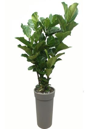 떡갈고무나무-원형
