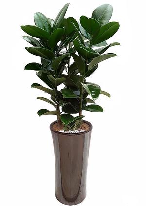 인도고무나무-원형 개업화분