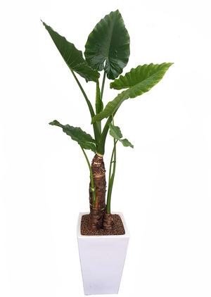 알로카시아-실내공기정화식물
