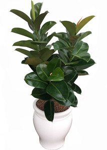 인도고무 실내공기정화식물