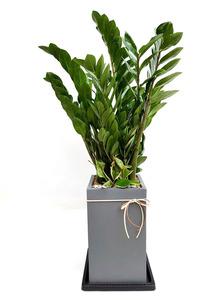 돈나무-고급사각 화분배달