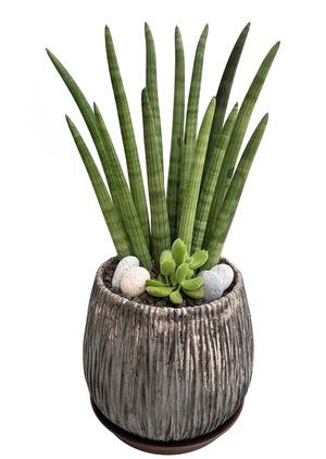 실내공기정화식물-스투키