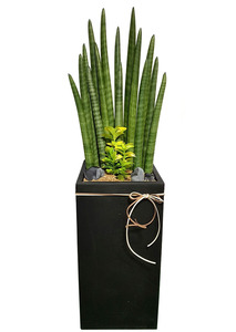 미세먼지정화식물 스투키배달