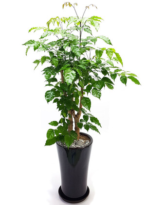실내식물 녹보수