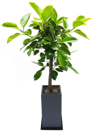뱅갈나무사각 실내식물화분