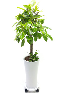사무실개업화분 뱅갈나무