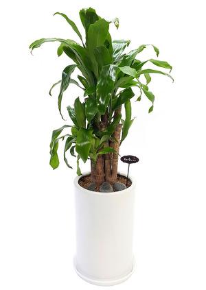행운목-실내인테리어식물