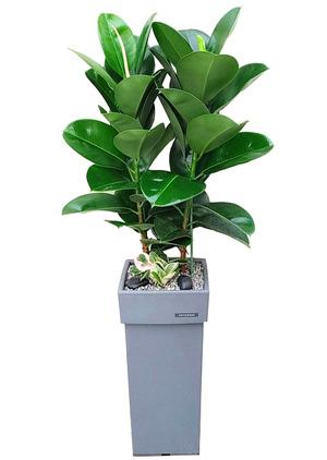 개업축하선물 인도고무나무