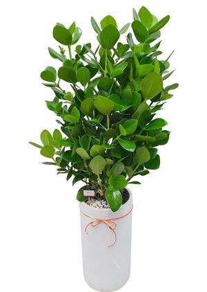 쿠루시아 실내정화식물