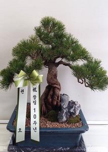 소나무분재 창립축하선물