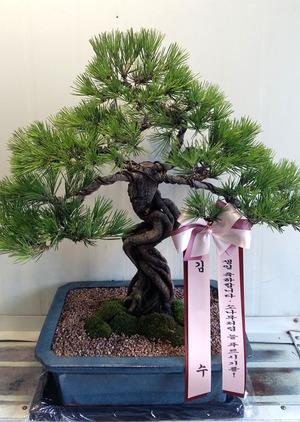 생신축하선물 소나무분재