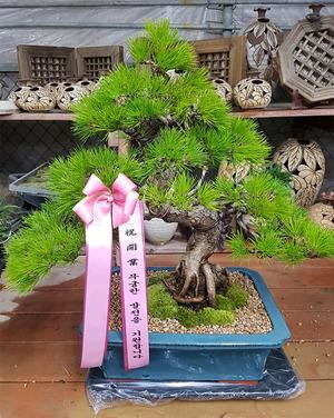 대박기원축하 소나무분재