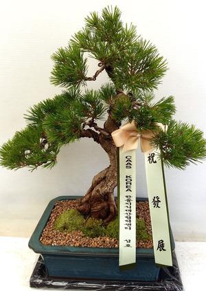 개업축하선물 소나무분재