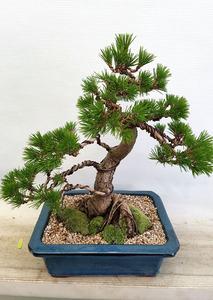 대박기원 소나무분재
