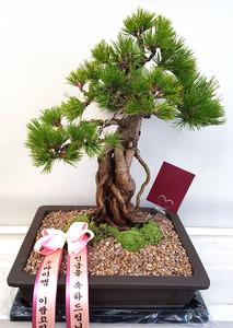 승진축하선물 소나무분재