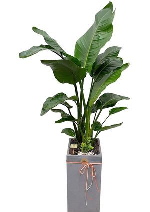 극락조 실내공기정화식물