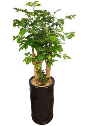 공기정화식물 녹보수원형