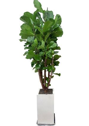 대박기원선물 떡갈고무나무