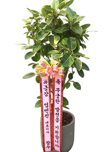 개업화분 뱅갈고무나무특