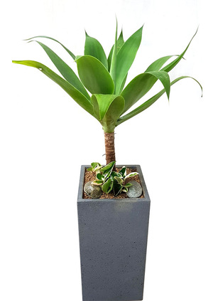실내인테리어식물 아가베