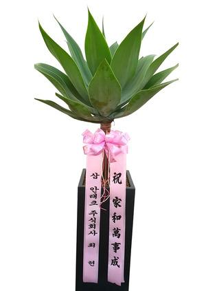 집안인테리어식물 아가베