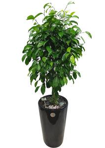 킹벤자민 실내공기정화식물