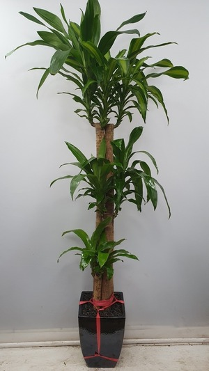 관엽식물(실내사무실&가정) 행운목