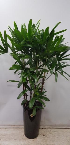 관엽식물(실내사무실&가정) 관음죽
