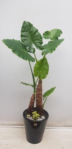 관엽식물(실내사무실&가정) 알로카시아