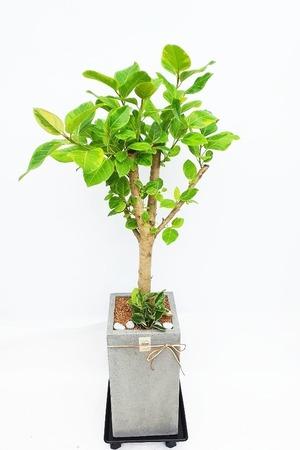 관엽식물(실내사무실&가정) 뱅갈고무나무
