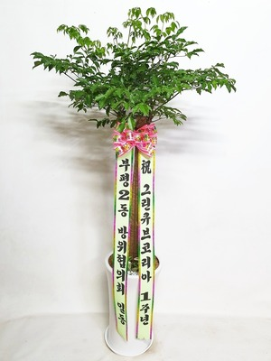 관엽식물(실내사무실&가정) 해피트리