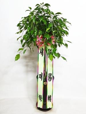 관엽식물(실내사무실&가정) 벤자민