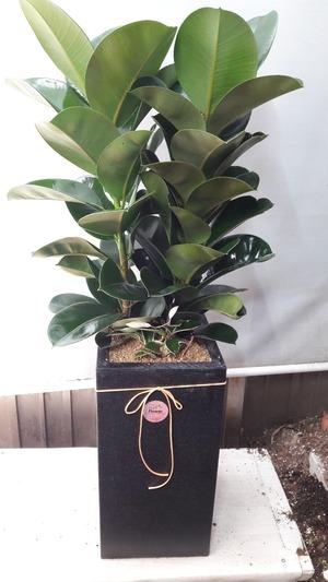 관엽식물(실내사무실&가정) 고무나무